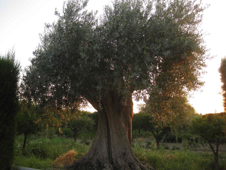 Il Begamotto di Calabria: piante di ulivi