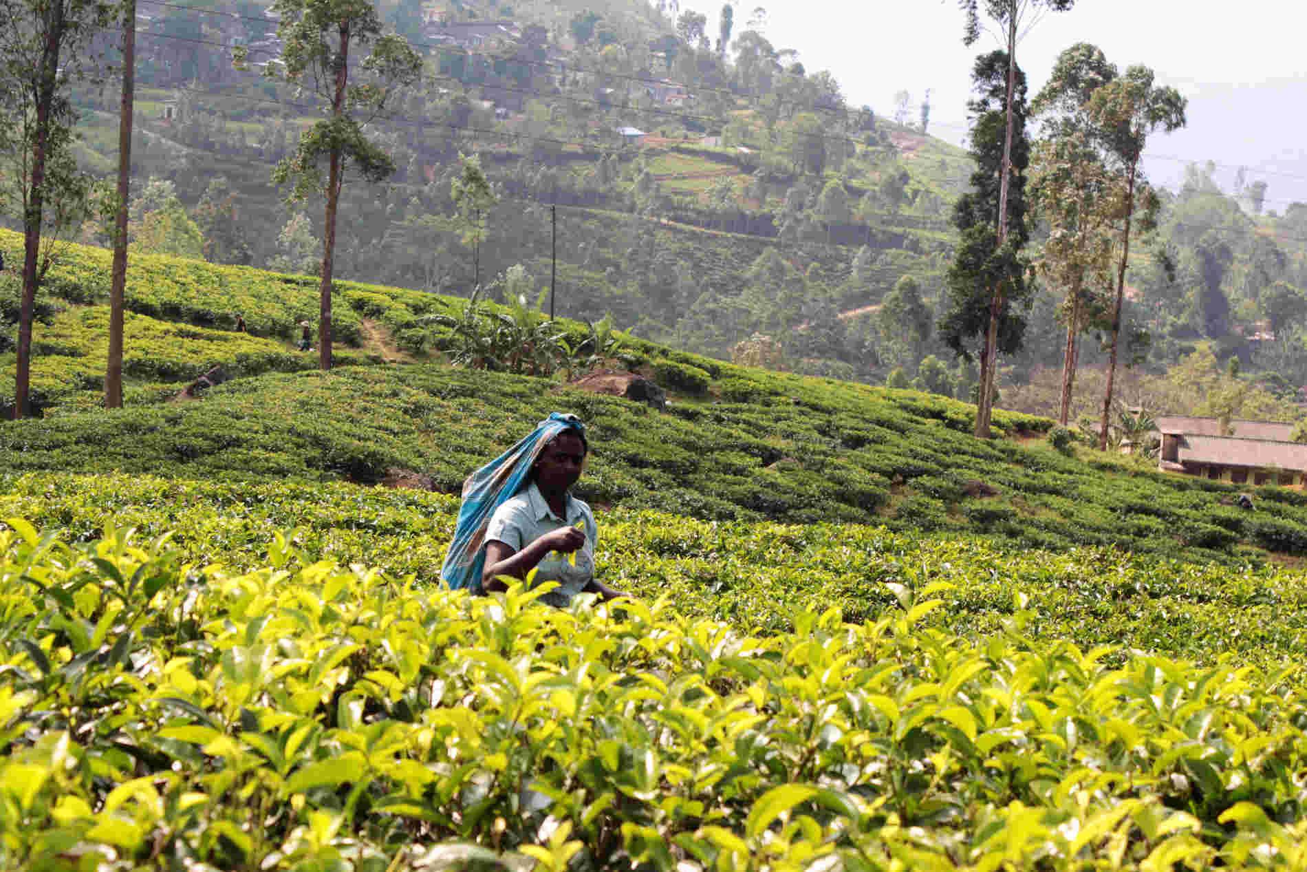 Viaggio in Sri Lanka - Piantagioni di Tea in Sri Lanka