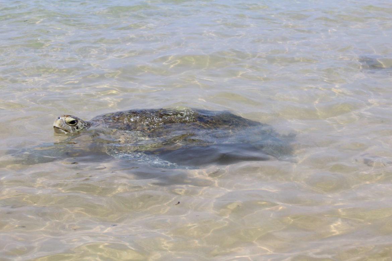 Tartarughe nella baia di Hikkaduwa viaggio in sri lanka