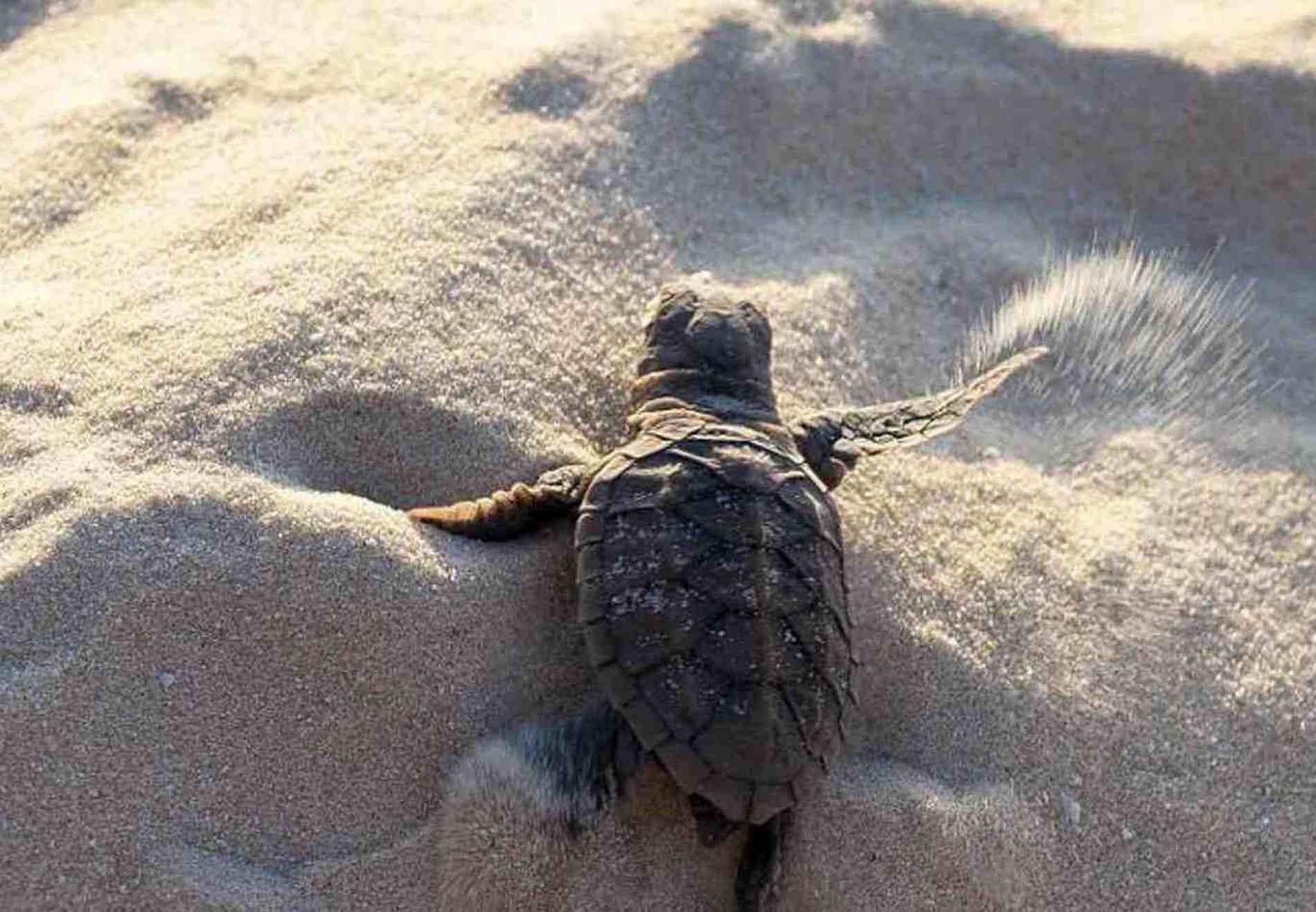 Vacanze sulla Costa ionica di Reggio Calabria- Palizzi marina, tartaruga Caretta caretta