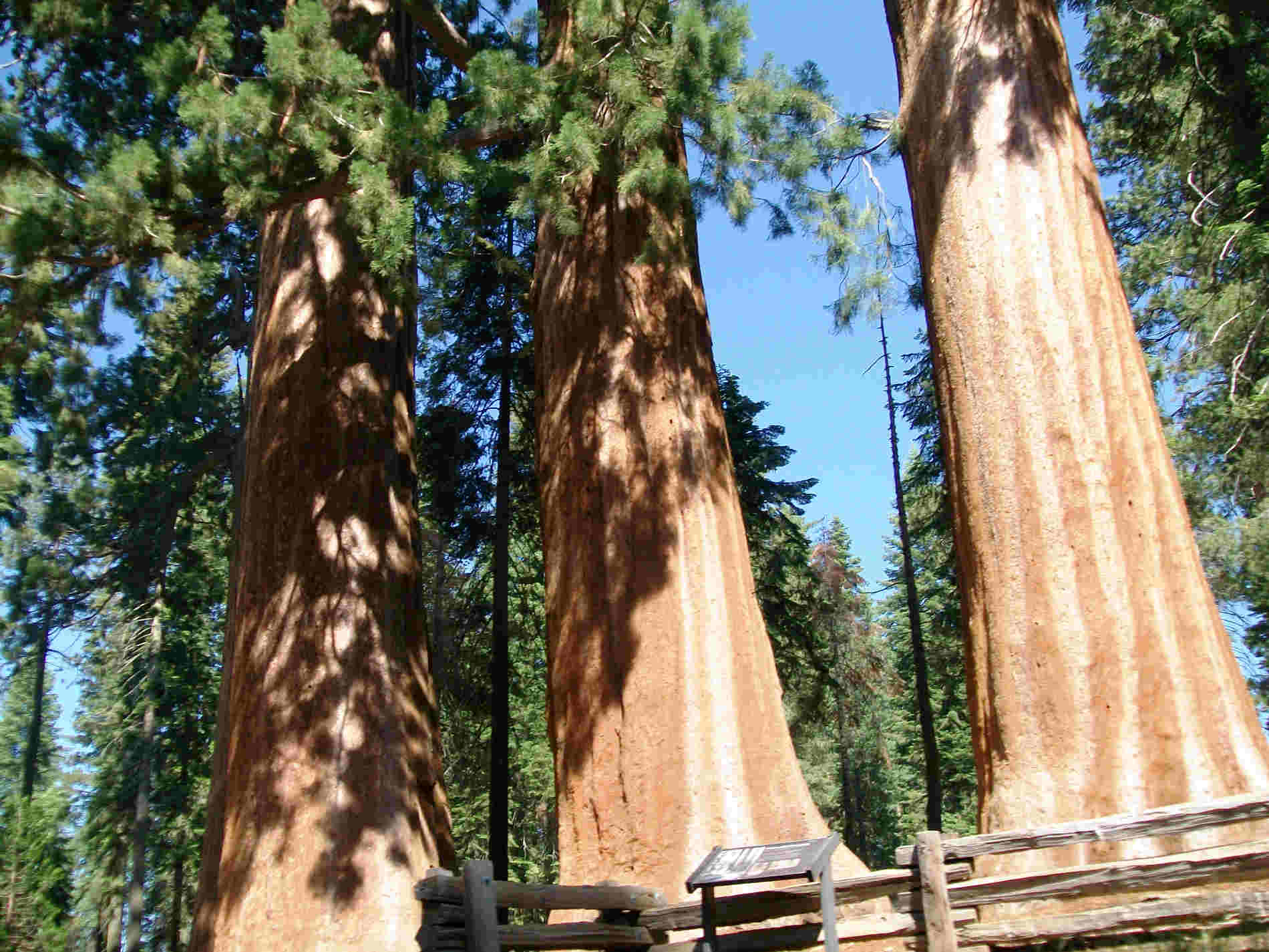 Sequoie nei Parchi Nazionali Ovest U.S.A.