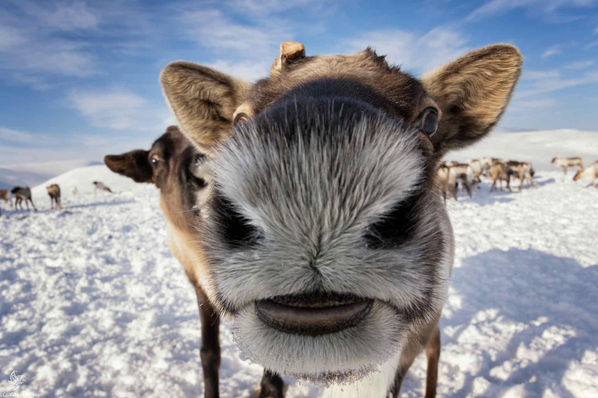 Renne in Siberia polare