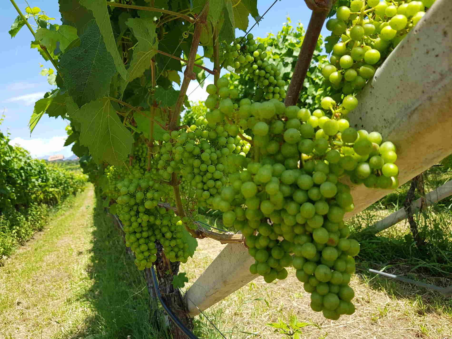 Vitigni ad Appiano Sulla Strada del Vino in Alto Adige